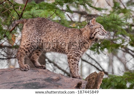 Bobcat Kitten (Lynx rufus) Stands Atop Log Looking Right - captive animal - stock photo