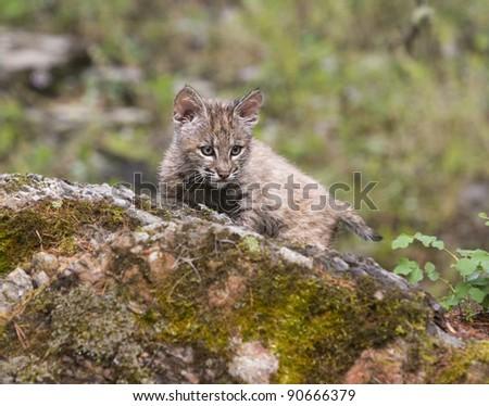 Bobcat Kitten on a Rock - stock photo