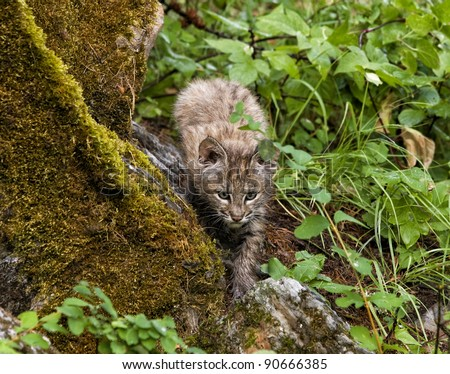 Bobcat Kitten Stalking its Prey - stock photo