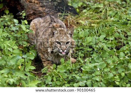 Bobcat Lying in Wait - stock photo