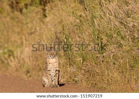 Bobcat (Lynx rufus) - stock photo
