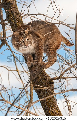 Bobcat (Lynx rufus) Crouches Camouflaged in Tree - captive animal