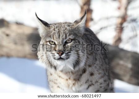 Bobcat (Lynx rufus) hunting in snow in winter - stock photo