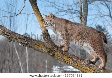 Bobcat (Lynx rufus) in Tree - captive animal - stock photo