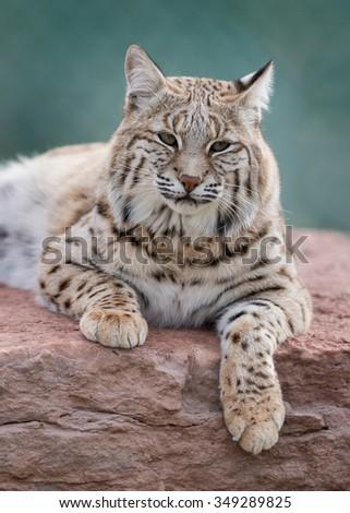 Bobcat (Lynx rufus) laying on rocks - stock photo