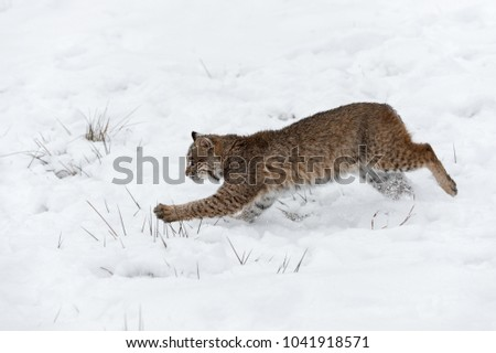 Bobcat (Lynx rufus) Pounces Left - captive animal