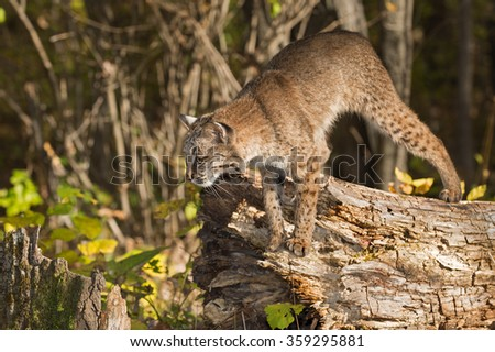 Bobcat (Lynx rufus) Preps to Jump Off Log - captive animal