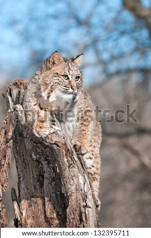 Bobcat (Lynx rufus) Sits on Stump with Copy Space - captive animal - stock photo