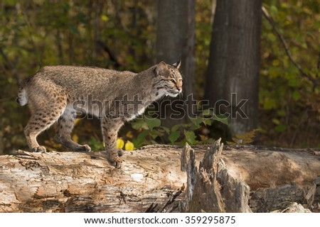 Bobcat (Lynx rufus) Stands on Log Looking Right - captive animal