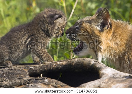 Bobcat, mother with young, baby, Minnesota, USA - stock photo