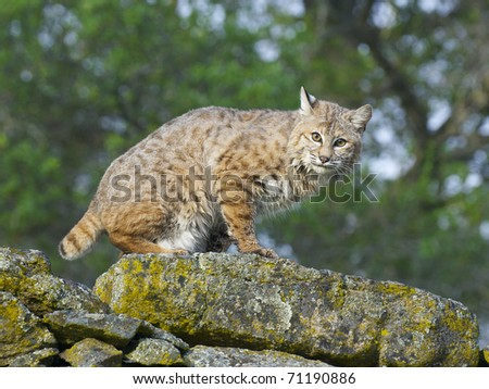 Bobcat on rocks  with lichen during spring time - stock photo