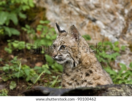 Bobcat Portrait Head Shot - stock photo