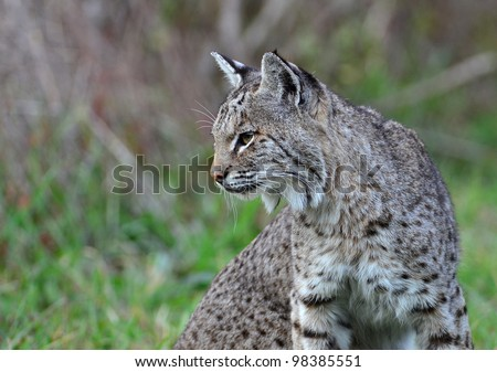 Bobcat Profile - stock photo