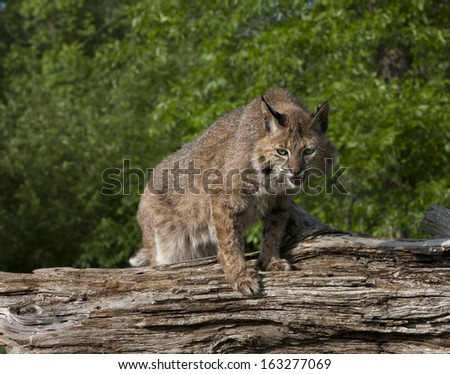 Bobcat Ready to Hunt - stock photo