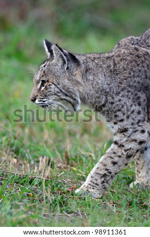 Bobcat Stalking Birds - stock photo