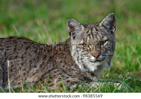 Bobcat waiting for a Gopher - stock photo