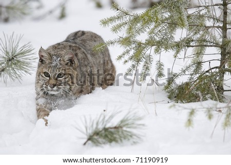 Bobcat walking in deep snow during winter time with pine trees - stock photo