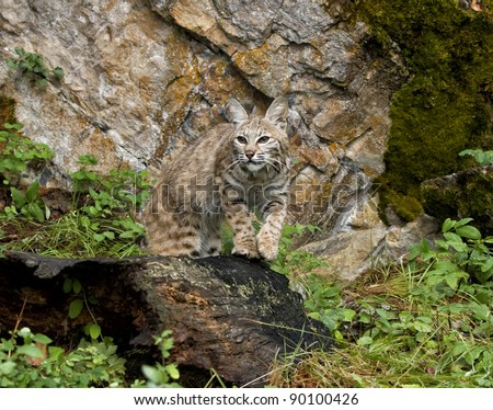 Bobcat Watching for Prey - stock photo