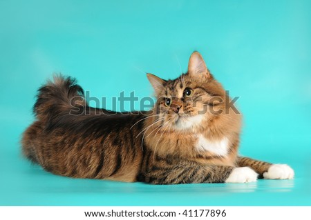 Bobtail cat lying on turquoise background and turn his head back