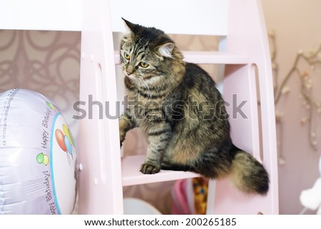 bobtail gray cat playing with birthday balloon in little girls room - stock photo