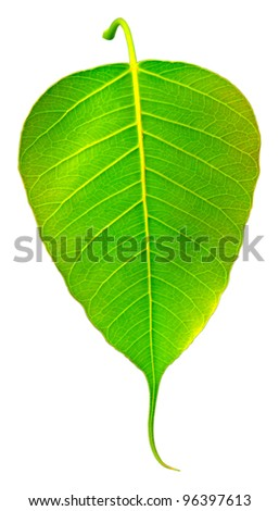 Bodhi Tree Leaves