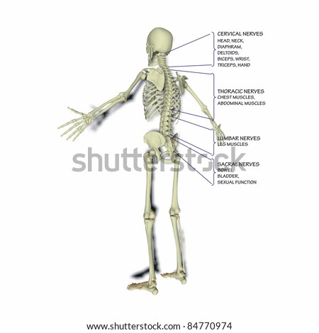 Bodily functions related to the spinal column - stock photo