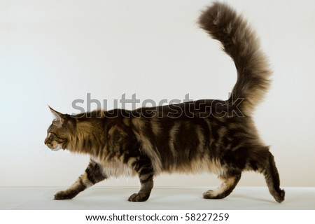 Body image of Maine Coon on beige background - stock photo