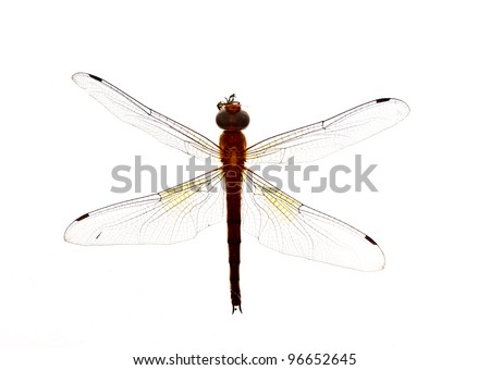 body of a red dragonfly on white background - stock photo