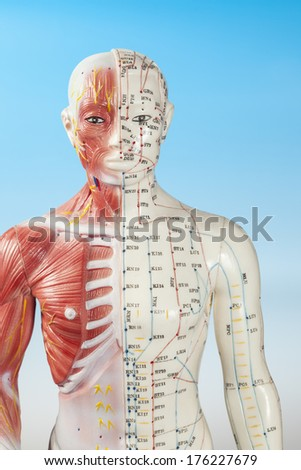 Body section of Acupuncture Model - stock photo