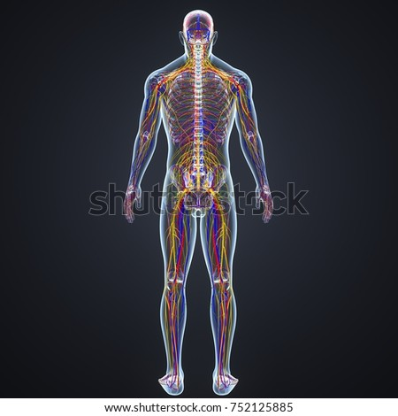 Body with Arteries, Veins, Nerves and lymph nodes 3d illustration