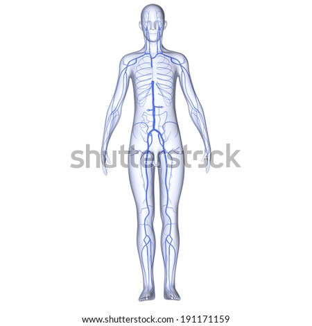 Body with Veins - stock photo