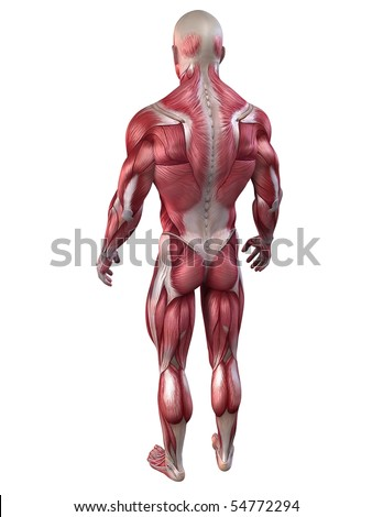 bodybuilder anatomy - stock photo
