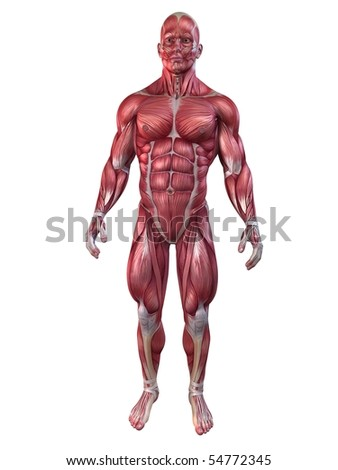 bodybuilder anatomy