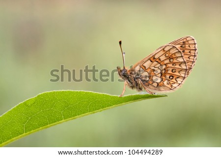 Bog Fritillary Butterfly (Boloria eunomia) at the end of some leaf