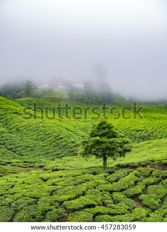 Boh Tea plantation in Cameron highlands, Malaysia - stock photo
