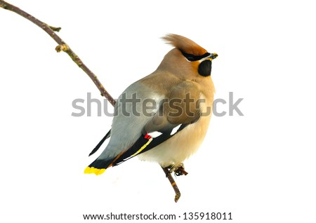 Bohemian Waxwing (Bombycilla garrulus) sitting on a twig isolated on white - stock photo