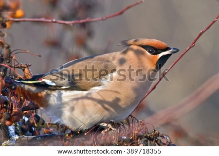 Bohemian Waxwing (Bombycilla garrulus) sitting on the branch