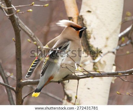 Bohemian waxwing on the birch tree