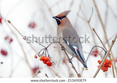 Bohemian waxwing perched on a twig with a nice background - stock photo