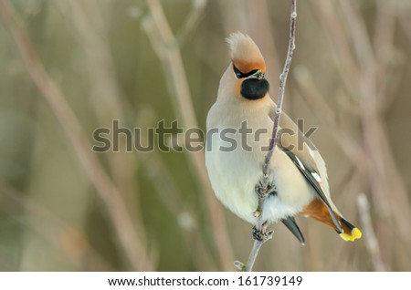 Bohemian waxwing sitting in a tree in winter time - stock photo