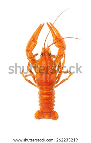 Boiled crayfish isolated on white background - stock photo