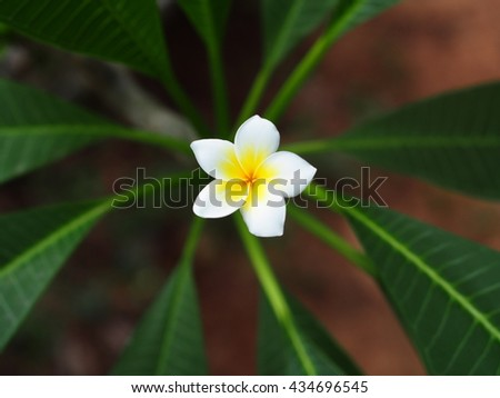 bokeh picture background shallow DoF of yellow white flower of Frangipani, Plumeria, Templetree exotic aroma smell BALI style spa flowers on a sunny day with natural outdoor background in THAILAND - stock photo