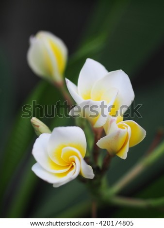 bokeh picture background shallow DoF of yellow white flowers of Frangipani, Plumeria, Templetree exotic aroma smell BALI style spa flowers on a sunny day with natural outdoor background in  - stock photo