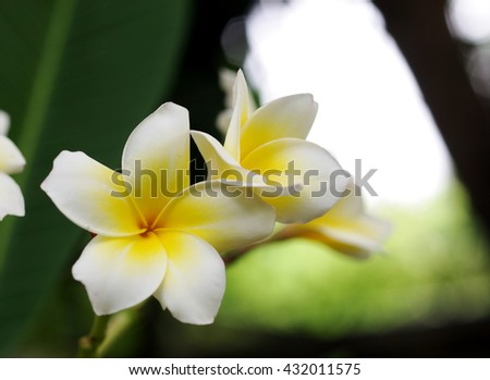 bokeh picture background shallow DoF of yellow white flowers of Frangipani, Plumeria, Templetree exotic aroma smell BALI style spa flowers on a sunny day with natural outdoor background in THAILAND - stock photo
