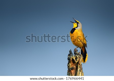 Bokmakierie bird calling - Telophorus zeylonus - South Africa - stock photo