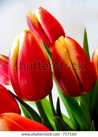 bold tulips - stock photo