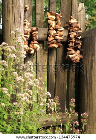 Boletes, forest, edible mushrooms, are drying is hung on the gate of the old garden.