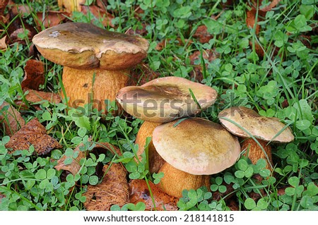 Boletus edulis, commonly known as the porcini (as well as penny bun, porcino or cep), is a basidiomycete fungus, and the type species of the genus Boletus. - stock photo