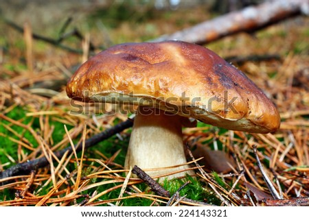 Boletus edulis edible mushroom in the forest - stock photo