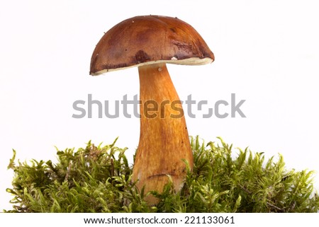 boletus edulis on moss lying on a light background. Shallow depth of field  - stock photo